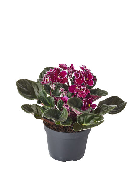 Saintpaulia lila