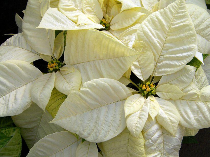 Julstjärna grenad vit 15 cm