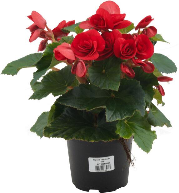 Begonia, Höjd 25 cm, Röd