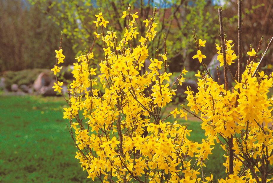 Forsythia intermedia 'Lynwood Gold' 5L