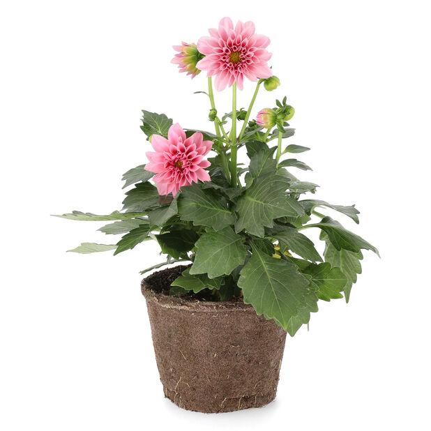 Dahlia fylldblommig, Ø12 cm, Flera färger