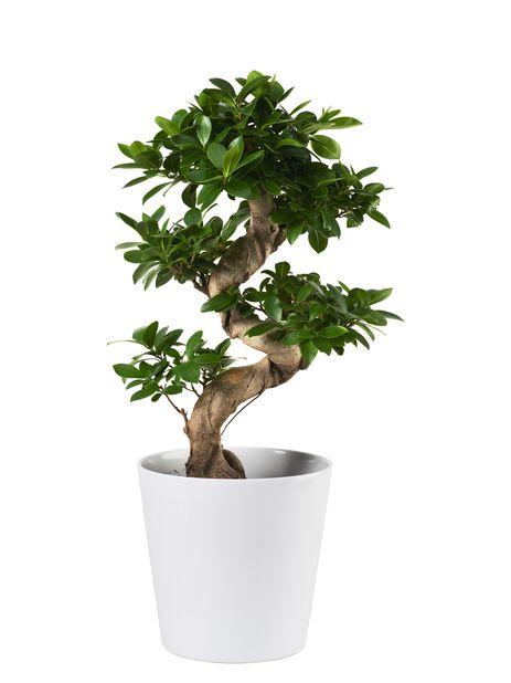 Citronfikus , Höjd 70 cm, Grön