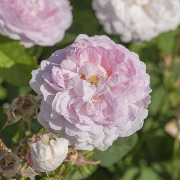 Kanadensisk buskros 'Martin Frobisher' , Ø19 cm, Rosa