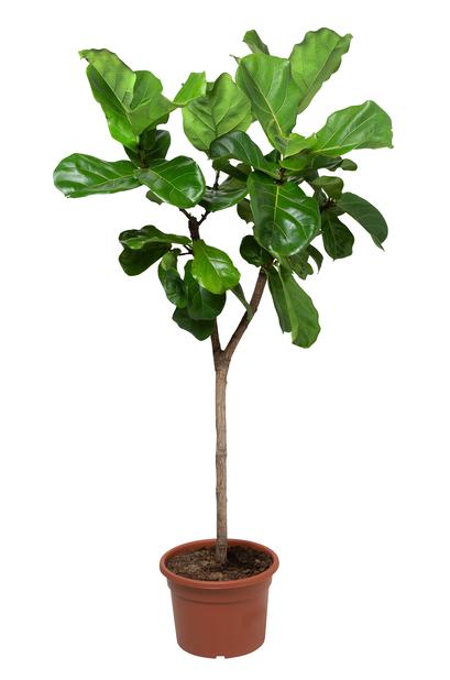 Fiolfikus, Höjd 150 cm, Grön