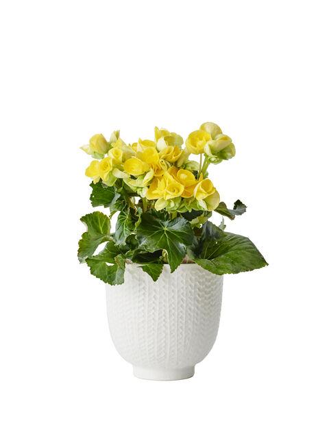 Begonia gul