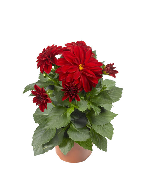 Dahlia, Ø12 cm, Röd