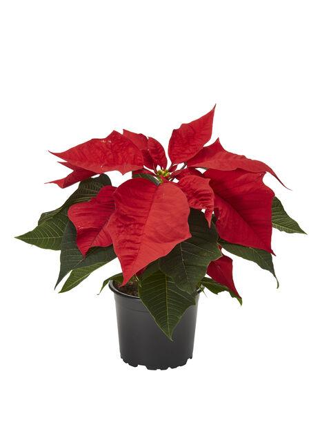Julstjärna 10,5 cm, röd