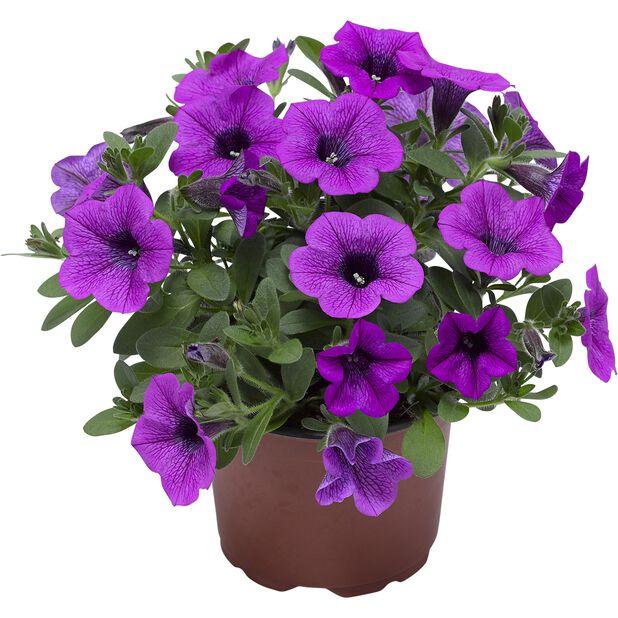 Petunia Dekko  'Deep Lavender Vein', Ø12 cm, Lila