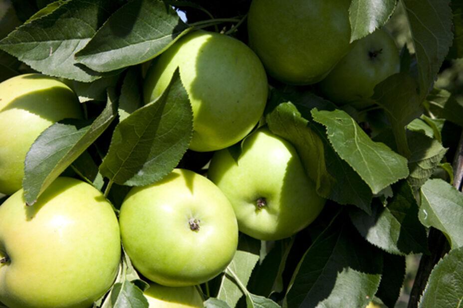 Äpple 'Transparente Blanche'