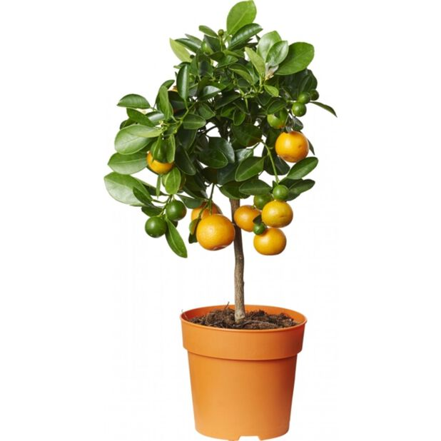 Kalamondin på stam, Ø12 cm, Orange