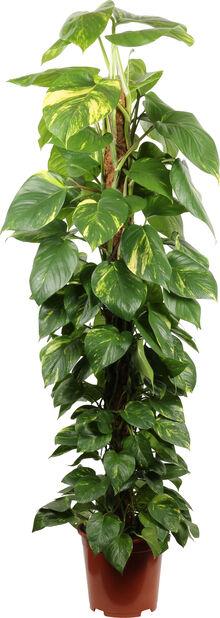 Gullranka på mosstock, Höjd 150 cm, Grön