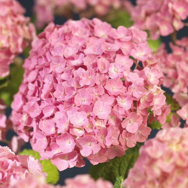 Trädgårdshortensia rosa 4L