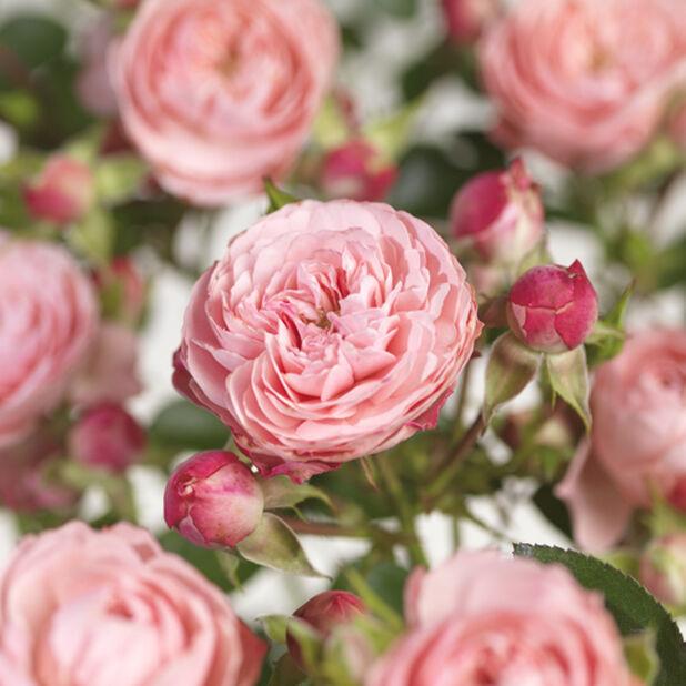 Terrass-ros 'Meilove rosa', Ø23 cm, Rosa