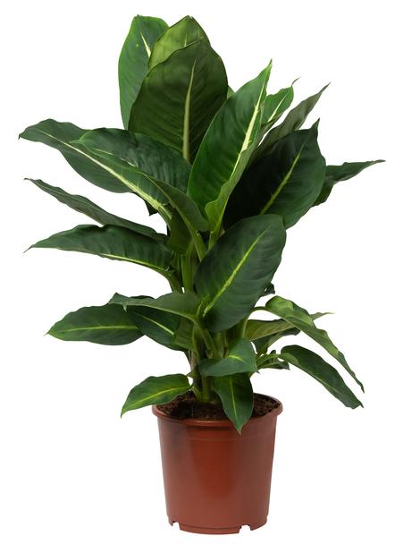 Prickblad 'Green Magic', Höjd 40 cm, Grön