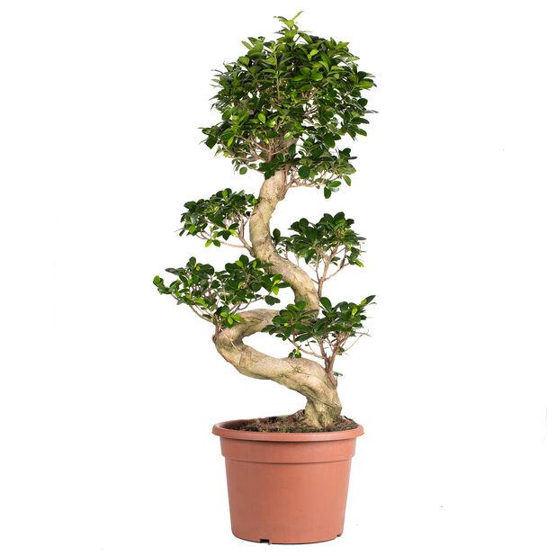 Bonsaifikus, Höjd 80 cm, Grön