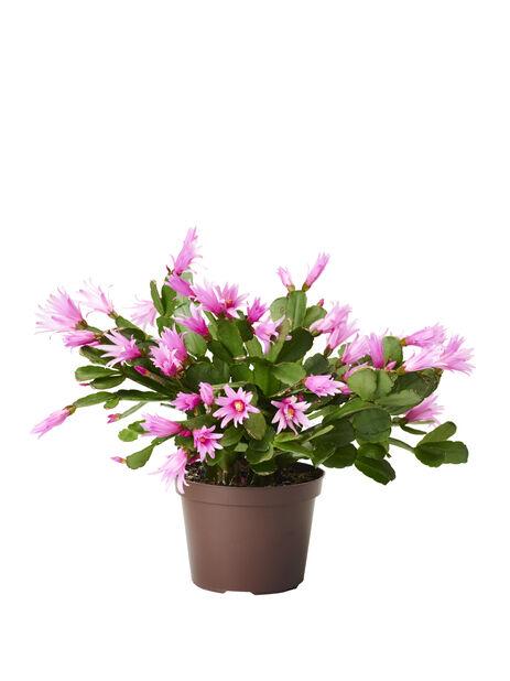 Vårkaktus, Ø12 cm, Flera färger
