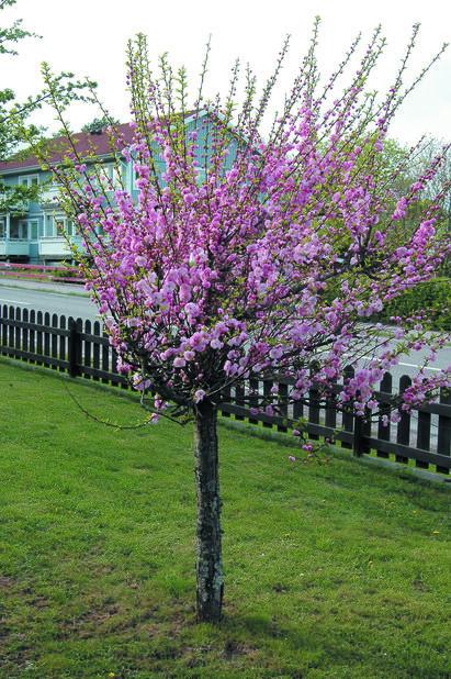 Rosenmandel på stam, Höjd 50 cm, Rosa
