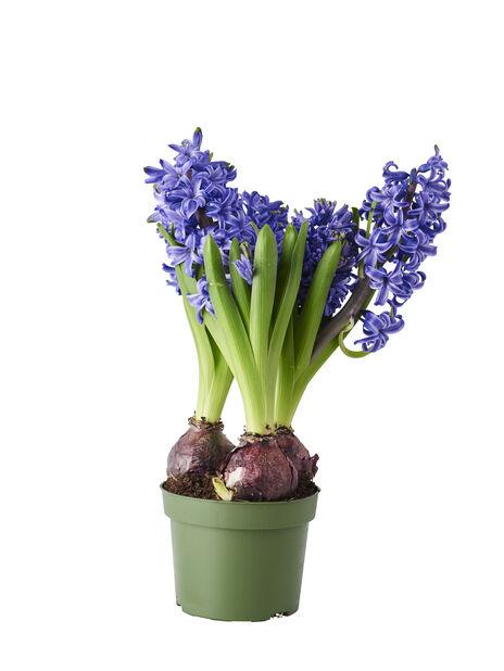 Hyacint, Ø12 cm, Blå