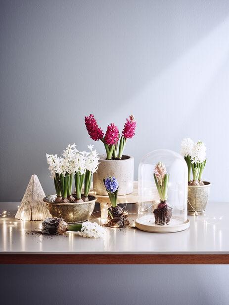 Hyacint, Flera färger