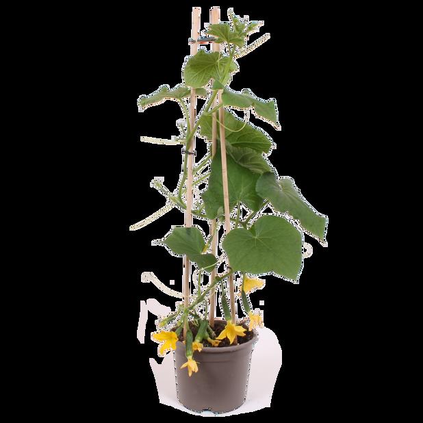 Minigurka, Ø14 cm, Grön