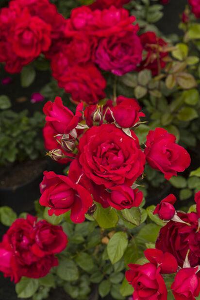 Ros på stam, Höjd 60 cm, Röd