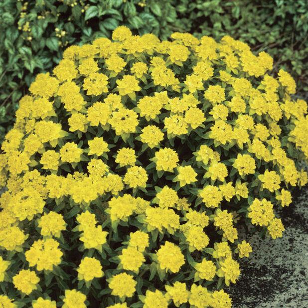 Gulltörel, Ø11 cm, Gul