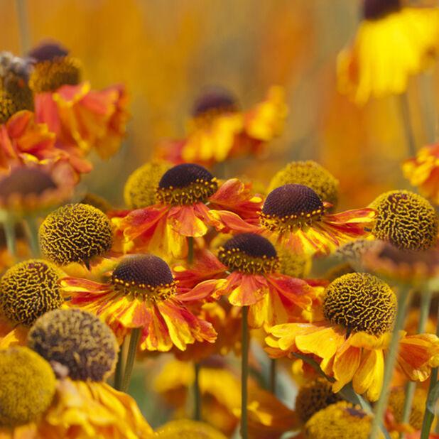 Trädgårdssolbrud 'Salud Embers', Höjd 45 cm, Orange