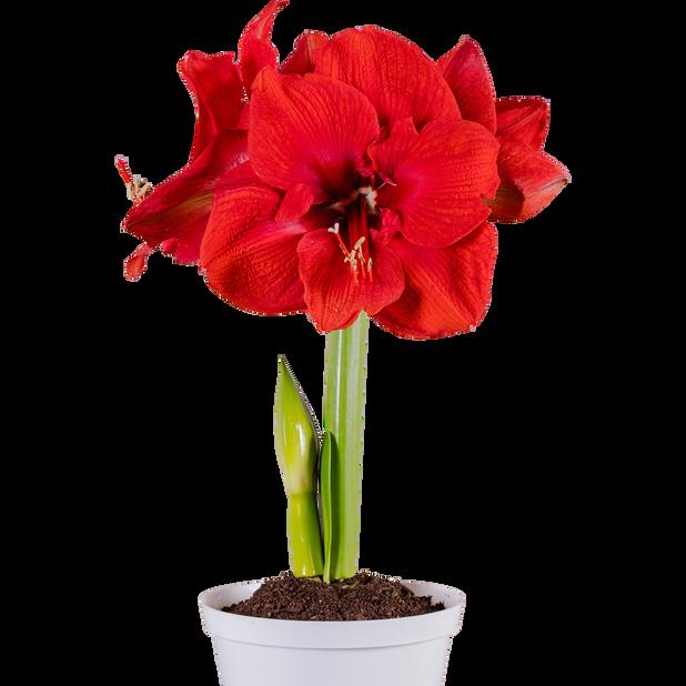 Amaryllis 1-stänglad 10.5 cm