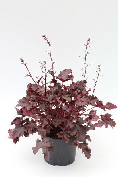 Alunrot, Höjd 25 cm, Röd