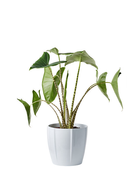 Zebrasköld, Höjd 100 cm, Grön
