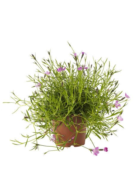 Hybridnejlika, Ø12 cm, Rosa