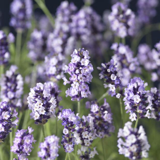 Lavendel 'Hidcote', Ø14 cm, Blå