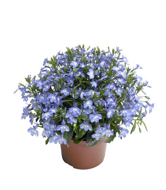 Hängobelia 'Dark Blue', Ø12 cm, Blå
