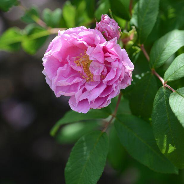Rugosa-ros 'Thérèse Bugnet' , Ø19 cm, Rosa