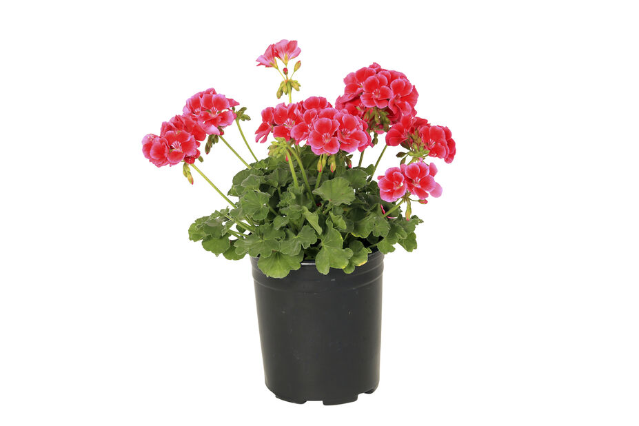 Pelargonium Calliope 'Red Splash' 12 cm