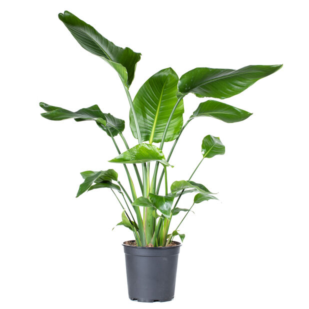 Vit papegojblomma, Höjd 80 cm, Grön