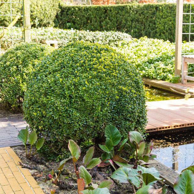Trädbuxbom 'Arborescens', boll, Ø35 cm, Grön