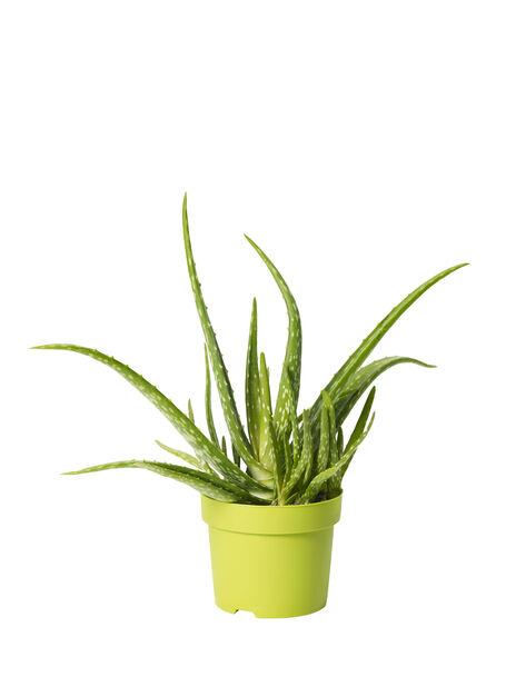 Aloe vera, höjd 30 cm