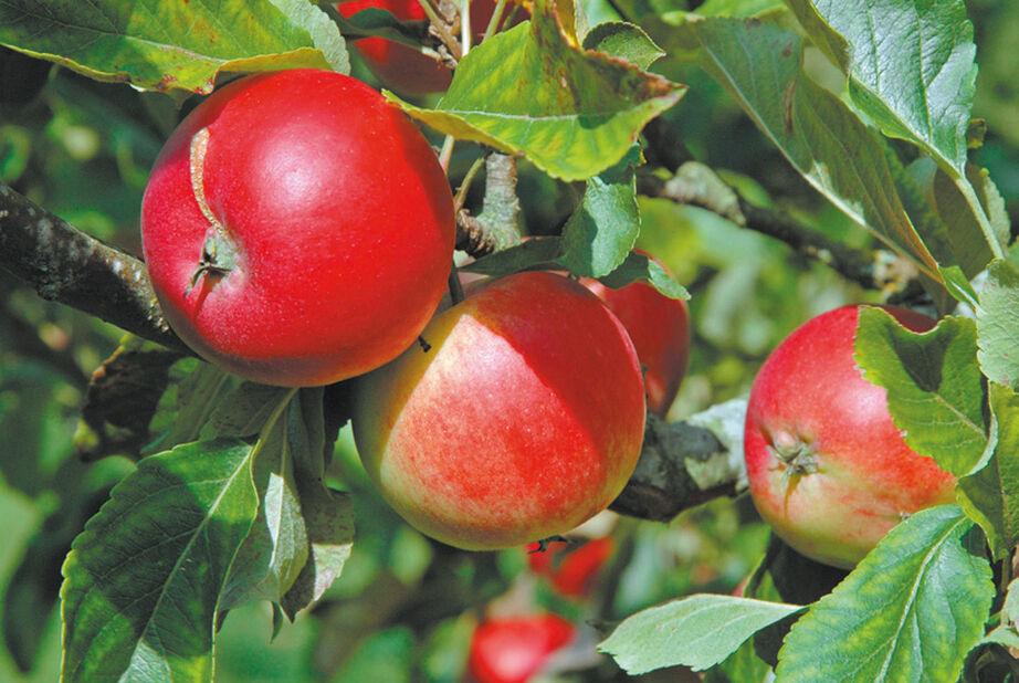 Äpple 'Katja'