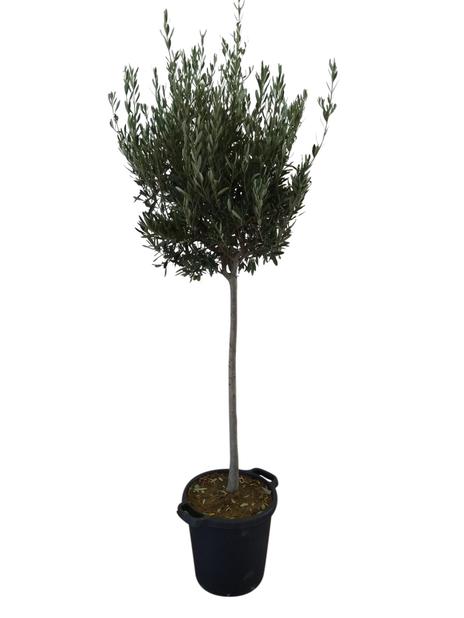 Olivträd 35 cm