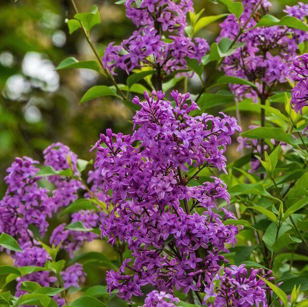 Dvärgsyren Bloomerang Dark Purple, Ø23 cm, Lila