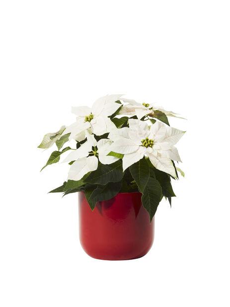 Höststjärna 'Princettia White' 12 cm