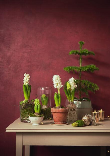 Hyacint, Vit