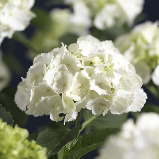 Hortensia, Ø29 cm, Vit