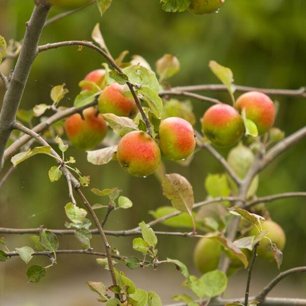 Äpple 'Ingrid Marie, Höjd 180 cm, Röd