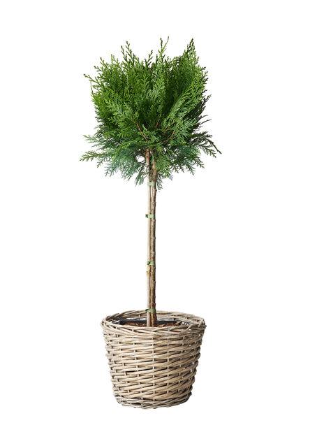 Uppstammande barrväxter, Höjd 60 cm, Grön