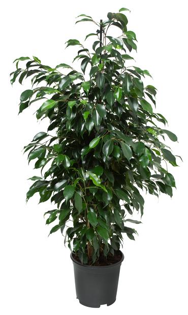Benjaminfikus 'Danielle', Höjd 115 cm, Grön