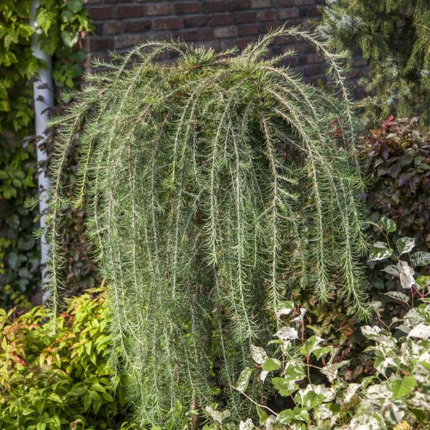 Japansk lärk 'Stiff Weeping' på stam, Ø27 cm, Grön