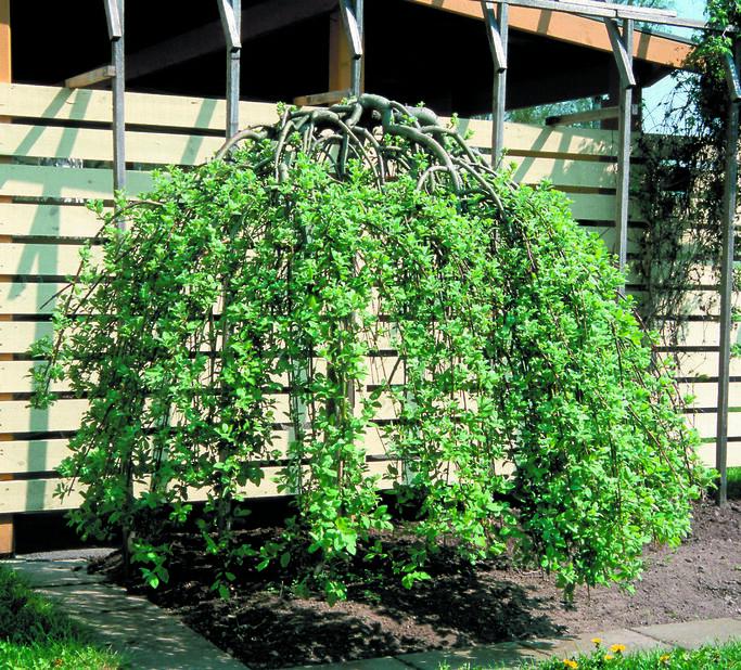 Hängsälg 'Kilmarnock', Höjd 100 cm, Grön