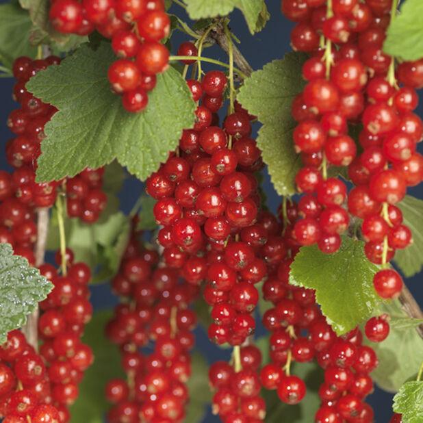 Röda vinbär 'Röda Holländska', Höjd 35 cm, Grön